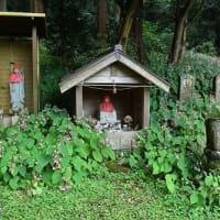 岩湧山の秋海棠(シュウカイドウ)