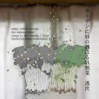 ■挿絵俳句548「カーテンに昼の纏はる貝割菜」(透次)