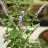 「おはようの花」 季節の山野草   ナギナタコウジュ   10月