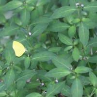 黄色い蝶々が・・・