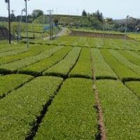茶摘みのあとの茶園風景