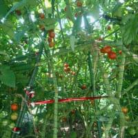 夏の「アリス農園」! ~もうすぐ収穫期~