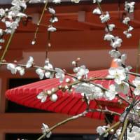 京の梅花情報2020 北野天満宮 梅苑 2