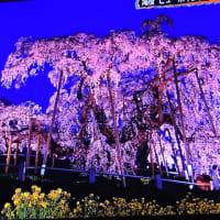 4/22 6時から点灯 夜桜も素晴らしい