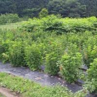 「花山ルビィふさすぐり援農ボランティア」参加者募集のお知らせ