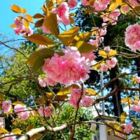鹽竈神社と関山桜