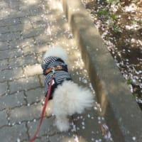 初夏のような東京…老犬ラスさん前髪カット  (  ̄ー)8×