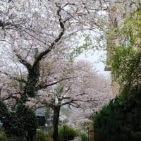 3月末日のドリームファームの桜