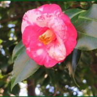 椿咲く季節