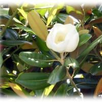 夏の季語(^^♪梅雨空になんとなく似合う花、甘い香りの「タイサンボク(泰山木 大山木)」