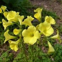 季節の花「大黄花酢漿草 (おおきばなかたばみ)」