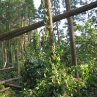 折れた杉の木が電線に寄りかかって作ったトンネル ~ 台風15号が去ったあとの危険な風景