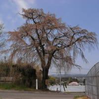 笹野の枝垂れ桜