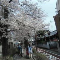 入学式 神武天皇祭の桜