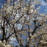 とっても近場で梅の花が楽しめました😃