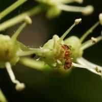コシアブラ の花では
