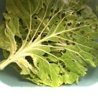 きれいな野菜求めて病気の日本人?