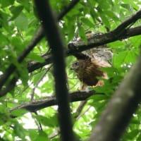 翼を上に挙げてストレッチする、オオタカの幼鳥。