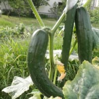 早朝の我が畑の野菜