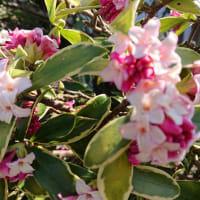 よい香り ジンチョウゲ開花
