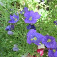 モッコウバラ:オイラン草 :ジャーマン ;バラ :ミニライラック ;ニーデンベルギア