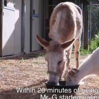 保護されたヤギとロバ。でも2頭は離れ離れに。6日間も何も食べなかったヤギ。その原因は友達のロバだった