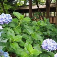 にしさんの花日記 梅雨の花 紫陽花