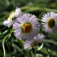 ハルジオン(春紫苑)