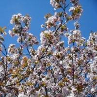 ソメイヨシノは散り納めですが・・・最後に、八重桜、満開。今年の桜の見納め?・・・山の実家の隣の家にありました。