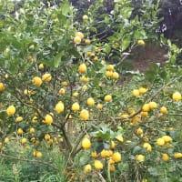 黄味香の収穫