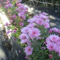 食用菊(紫)の初収穫