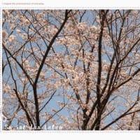 桜の木の下で。。。のはずが