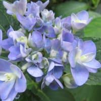 紫陽花「パッションブルー」 4