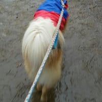 雨の中 散歩に行けど 便しない