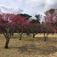 娘の応援と梅の花。愛犬とお散歩。花粉だけが余計。