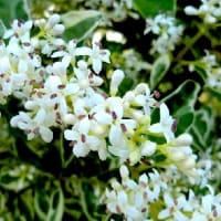 白い小花が咲く花木、ガマズミ、コゴメウツギ、シルバープリペット、ネズミモチ、他