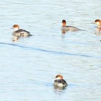 モエレの鳥たち 10/24 沼を駆けまわるミコアイサの集団