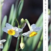加賀千代女の水仙