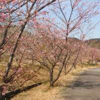 家代川堤防に咲く河津桜。