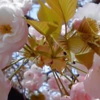 """~""""美""""の饗宴 八重桜~"""
