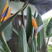 極楽鳥花の花が咲く