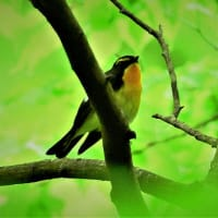 今日の野鳥  キビタキ  ・  カワセミ