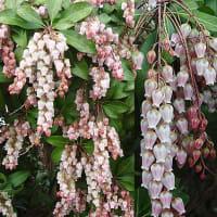 アセビ(馬酔木) 熟果と蕾のような花芽