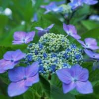 ●我が家の6月の花(9) 夏至にシクラメンが開花 ヤマアジサイ・城ヶ崎 ブルーのガクアジサイ ストロベリームーン