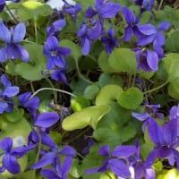 すみれが…いっぱい…咲いてます