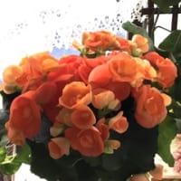 オレンジ色のベコニア