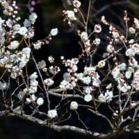 こども自然公園(大池公園)梅の花