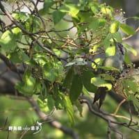 食欲の秋・・・アオゲラ Episode3