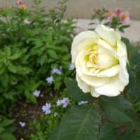 白バラ咲いた~♪