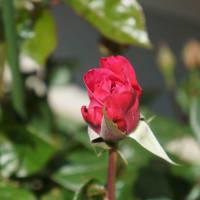 バラがやっと咲きだしました。